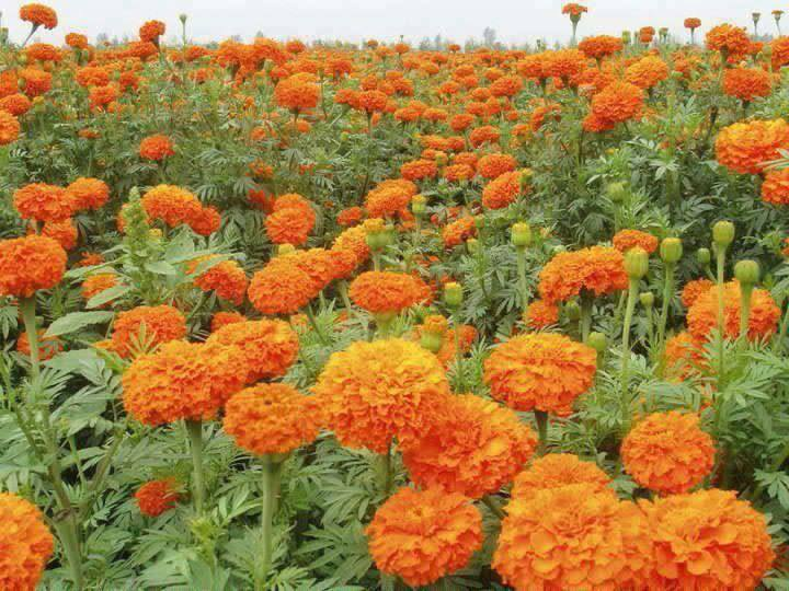 नेपालमा उत्पादितभन्दा भारतबाट आयात गरिएको फूल सस्तोमा